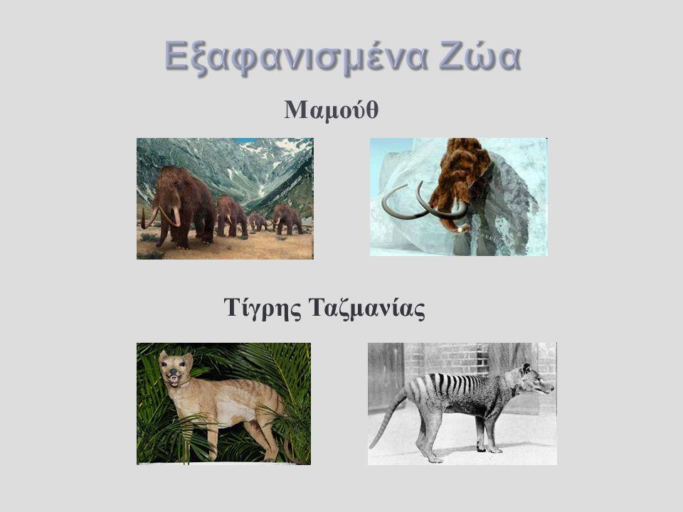 Μαμούθ Τίγρης Ταζμανίας
