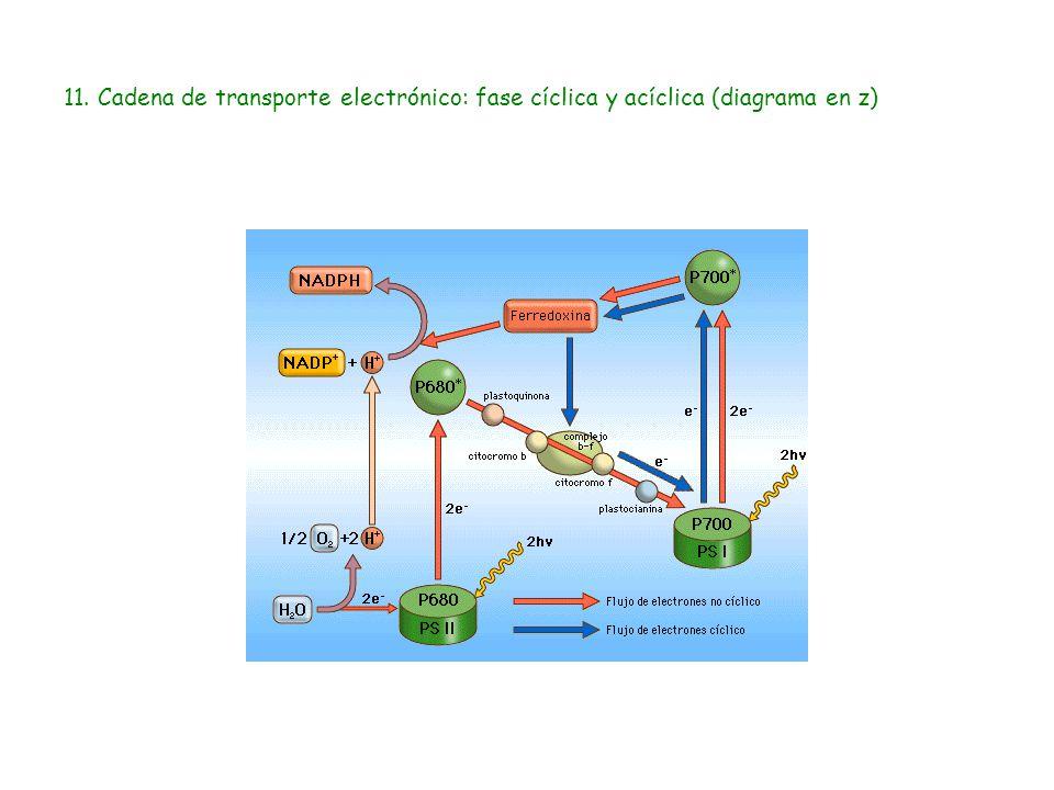 11. Cadena de transporte electrónico: fase cíclica y acíclica (diagrama en z)
