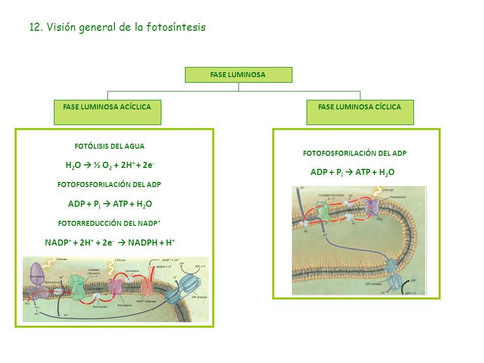 12. Visión general de la fotosíntesis FASE LUMINOSA FASE LUMINOSA ACÍCLICAFASE LUMINOSA CÍCLICA FOTOFOSFORILACIÓN DEL ADP ADP + P i → ATP + H 2 O FOTÓ