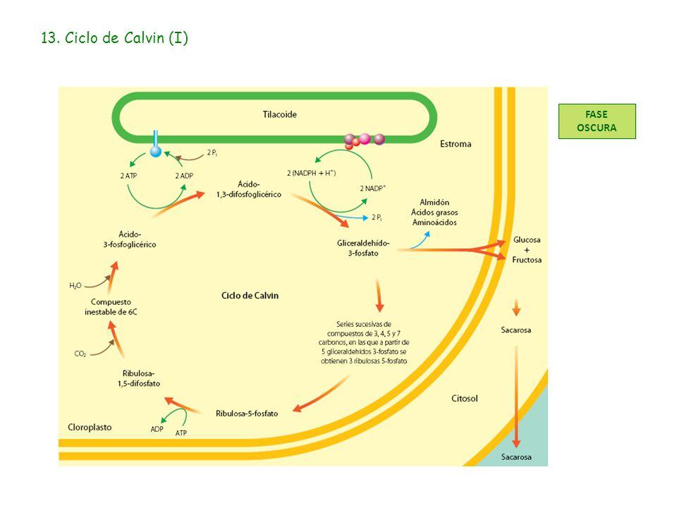 13. Ciclo de Calvin (I) FASE OSCURA