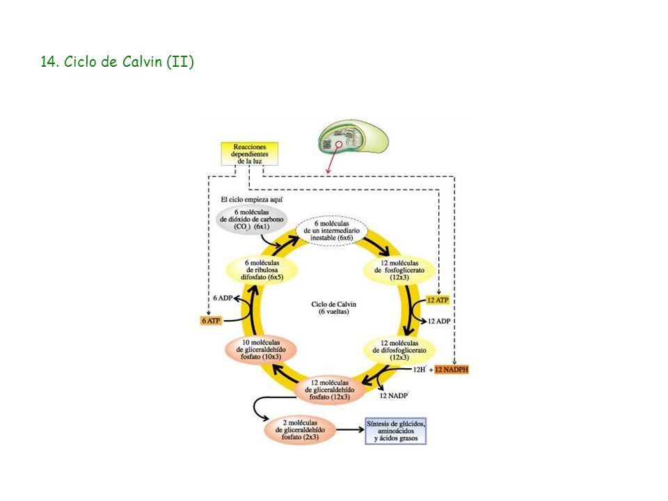 14. Ciclo de Calvin (II)