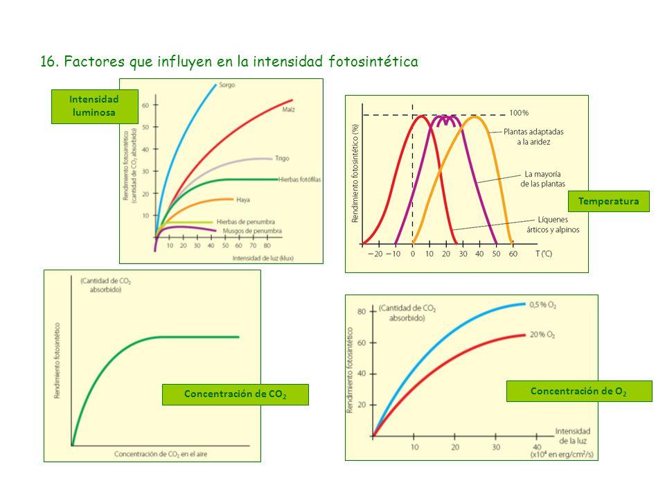 16. Factores que influyen en la intensidad fotosintética Intensidad luminosa Concentración de CO 2 Temperatura Concentración de O 2