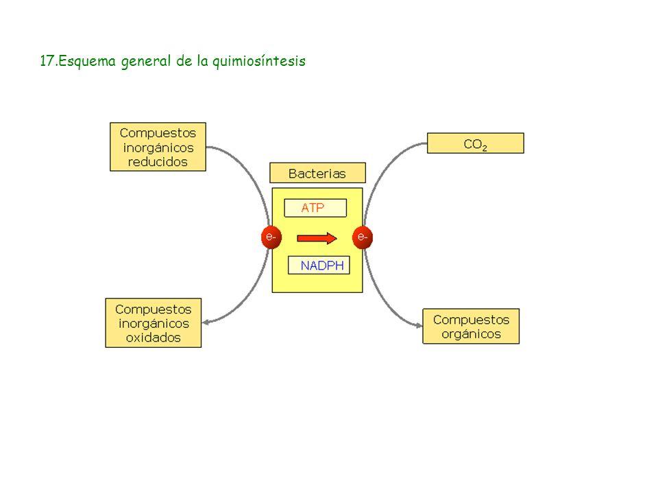 17.Esquema general de la quimiosíntesis