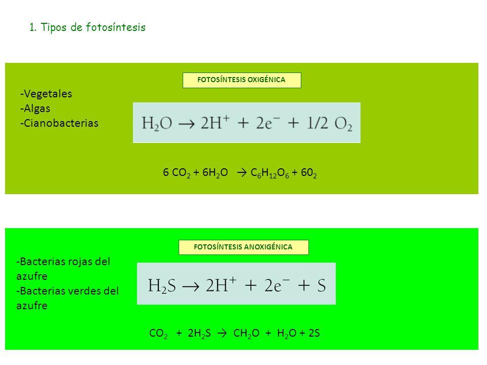 1. Tipos de fotosíntesis 6 CO 2 + 6H 2 O → C 6 H 12 O 6 + 60 2 CO 2 + 2H 2 S → CH 2 O + H 2 O + 2S FOTOSÍNTESIS ANOXIGÉNICA FOTOSÍNTESIS OXIGÉNICA -Ve