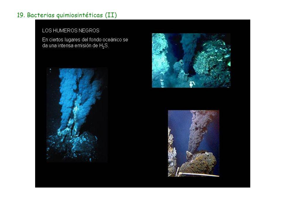 19. Bacterias quimiosintéticas (II)