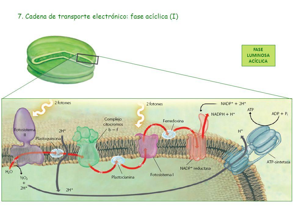 8. Cadena de transporte electrónico: fase acíclica (II)