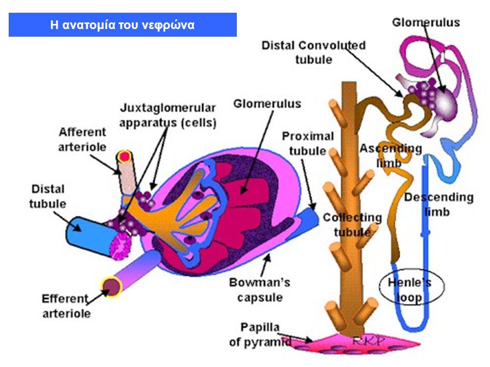 Λειτουργίες Νεφρών Παραγωγή ούρων, αποβολή άχρηστων προϊόντων μεταβολισμού, διαφόρων τοξινών και φαρμάκων Ρύθμιση ισοζυγίου ύδατος και ηλεκτρολυτών Ρύθμιση οξεοβασικής ισορροπίας (αποβολή Η + και αποβολή ή παραγωγή διττανθρακικών) Μεταβολική και ορμονική δραστηριότητα (ενεργοποίηση βιταμίνης D, παραγωγή ερυθροποιητίνης, ρενίνης) κ.ά