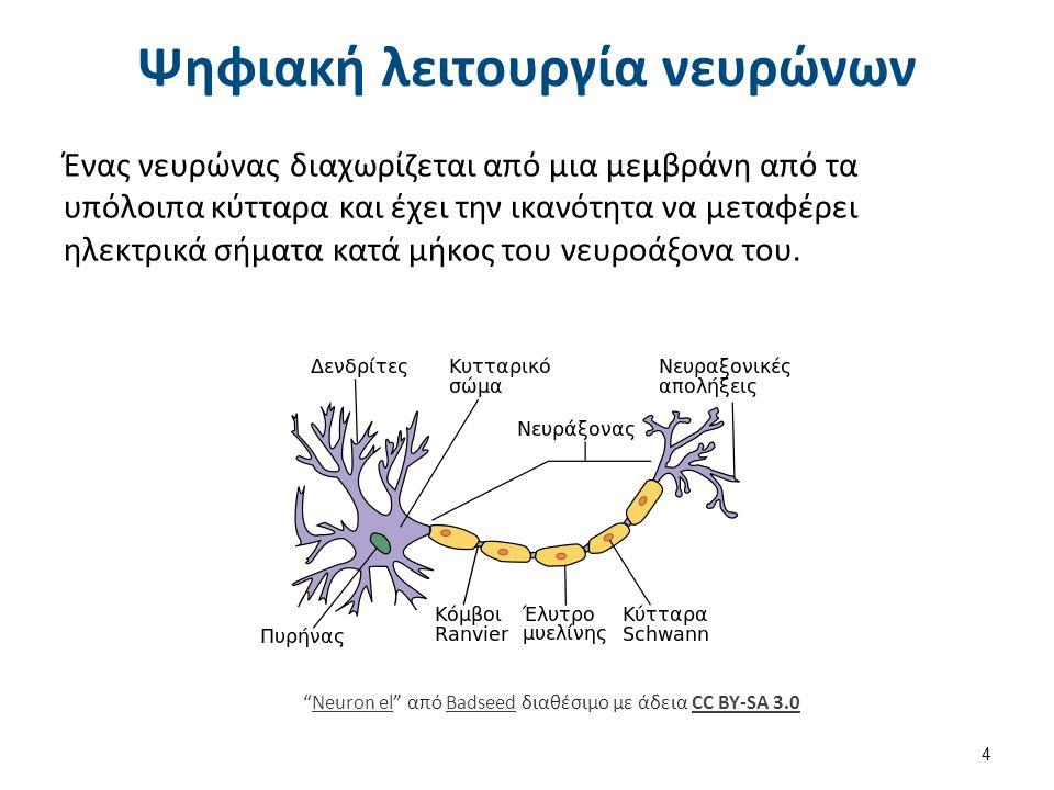 Ψηφιακή λειτουργία νευρώνων Ένας νευρώνας διαχωρίζεται από μια μεμβράνη από τα υπόλοιπα κύτταρα και έχει την ικανότητα να μεταφέρει ηλεκτρικά σήματα κ