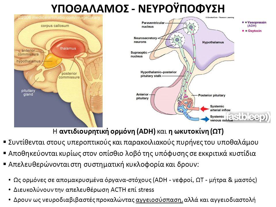ΥΠΟΘΑΛΑΜΟΣ - ΝΕΥΡΟΫΠΟΦΥΣΗ H αντιδιουρητική ορμόνη (ADH) και η ωκυτοκίνη (ΩΤ)  Συντίθενται στους υπεροπτικούς και παρακοιλιακούς πυρήνες του υποθαλάμο