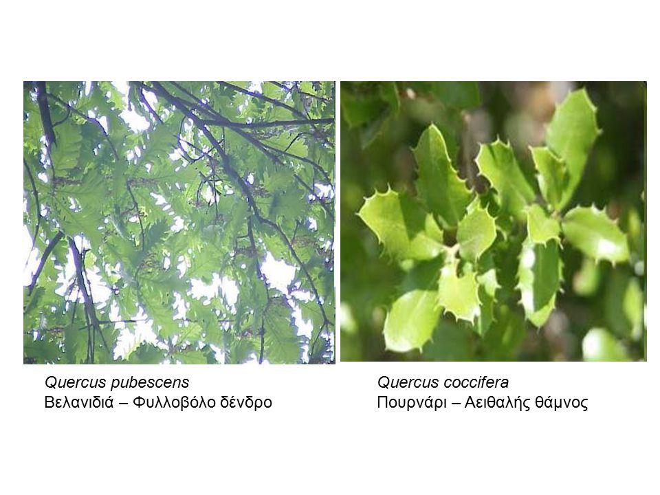 Quercus pubescens Βελανιδιά – Φυλλοβόλο δένδρο Quercus coccifera Πουρνάρι – Αειθαλής θάμνος