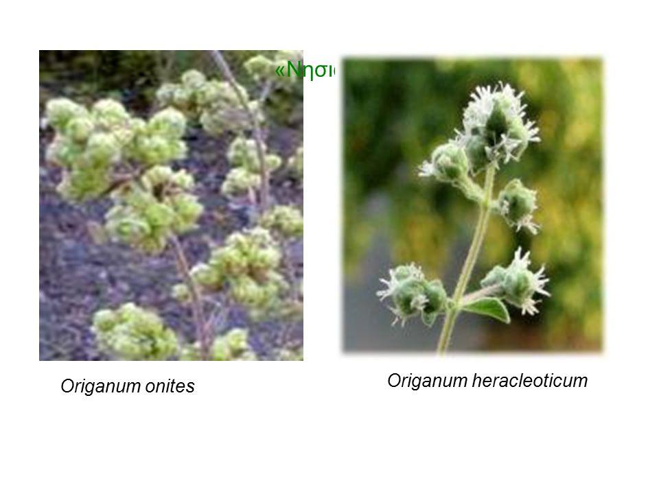 «Νησιώτικη ρίγανη» Origanum onites Origanum heracleoticum