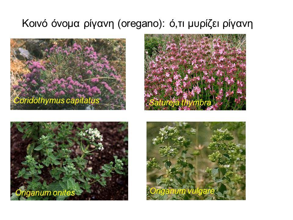 Κοινό όνομα ρίγανη (oregano): ό,τι μυρίζει ρίγανη Coridothymus capitatus Satureja thymbra Origanum onites Origanum vulgare