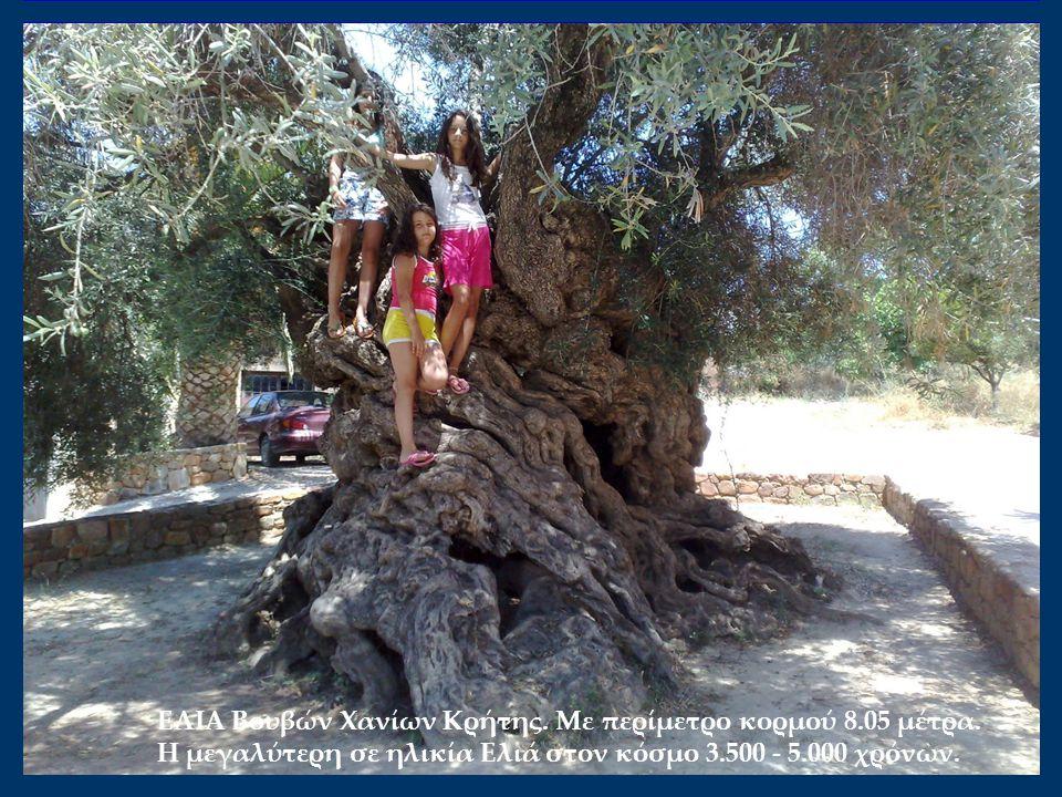ΕΛΙΑ Βουβών Χανίων Κρήτης. Mε περίμετρο κορμού 8.05 μέτρα. Η μεγαλύτερη σε ηλικία Ελιά στον κόσμο 3.500 - 5.000 χρόνων.
