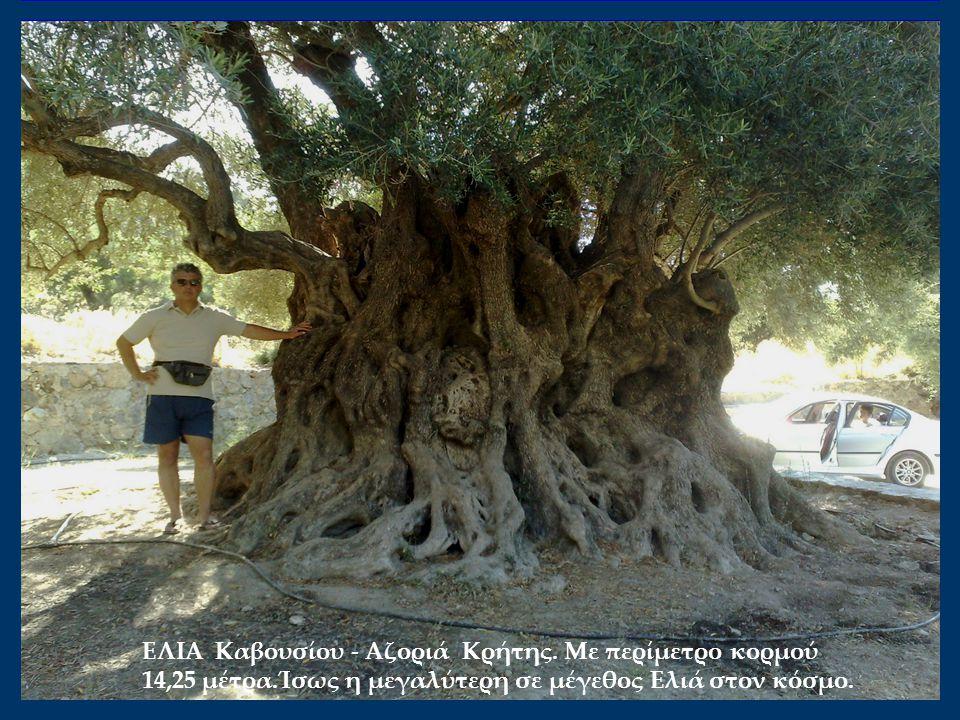 ΕΛΙΑ Καβουσίου - Αζοριά Κρήτης. Mε περίμετρο κορμού 14,25 μέτρα.Ίσως η μεγαλύτερη σε μέγεθος Ελιά στον κόσμο.