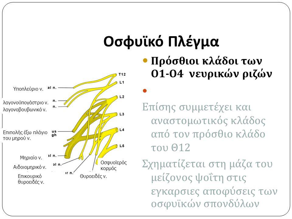 Οσφυϊκό Πλέγμα Πρόσθιοι κλάδοι των Ο 1- Ο 4 νευρικών ριζών Επίσης συμμετέχει και αναστομωτικός κλάδος από τον πρόσθιο κλάδο του Θ 12 Σχηματίζεται στη μάζα του μείζονος ψοΐτη στις εγκαρσιες αποφύσεις των οσφυϊκών σπονδύλων Υποπλεύριο ν.