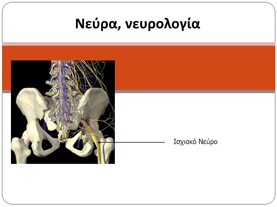Πορεία θυροειδούς νεύρου Το θυροειδές νεύρο εκφύεται από τους πρόσθιους κλάδους των Ο 2- Ο 4 νεύρων, πορεύεται προς τα κάτω πάνω στο μείζονα ψοϊτη μυ και αναδύεται από΄την έσω πλευρά του κοντά στο πυελικό χείλος.