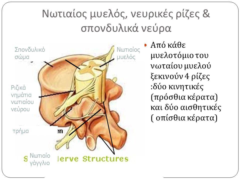 Νωτιαίος μυελός, νευρικές ρίζες & σπονδυλικά νεύρα Από κάθε μυελοτόμιο του νωταίου μυελού ξεκινούν 4 ρίζες : δύο κινητικές ( πρόσθια κέρατα ) και δύο αισθητικές ( οπίσθια κέρατα ) Νωτιαίος μυελός Σπονδυλικό σώμα Ριζικά νημάτια νωτιαίου νεύρου τρήμα Νωτιαίο γάγγλιο