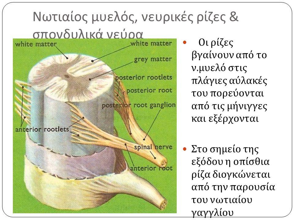 Νωτιαίος μυελός, νευρικές ρίζες & σπονδυλικά νεύρα Οι ρίζες βγαίνουν από το ν.
