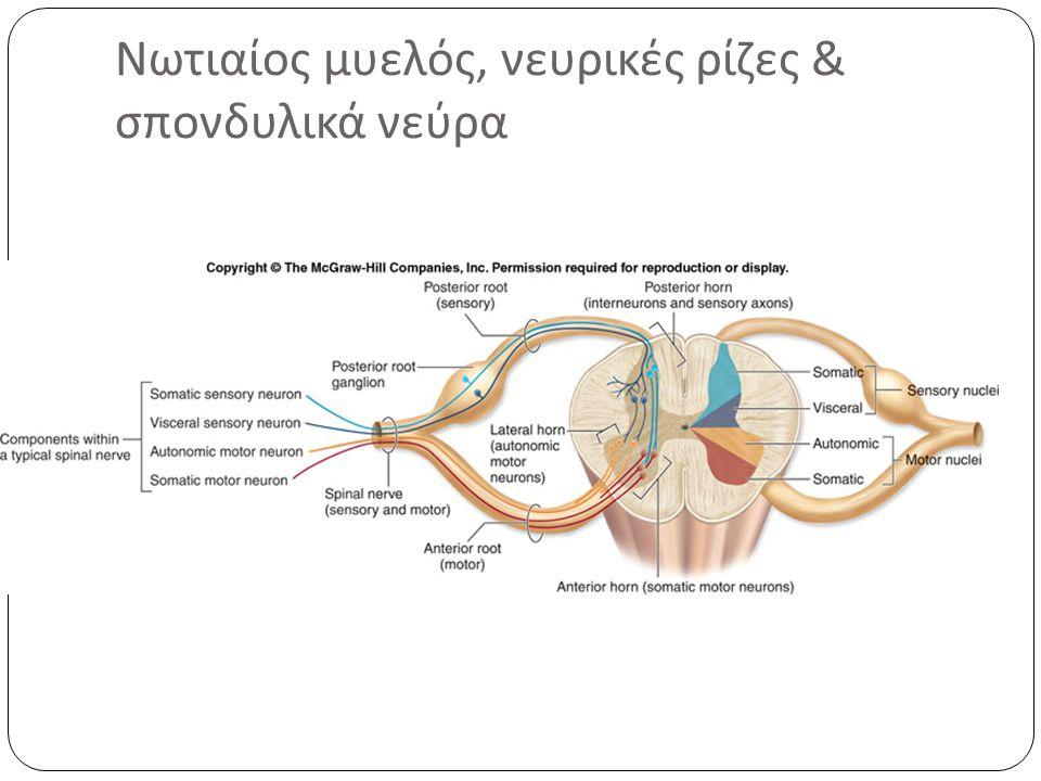 Στη συνέχεια οι ρίζες ενώνονται ανά δύο ( πρόσθια και οπίσθια ) και σχηματίζουν το μικτό νωταίο νεύρο.