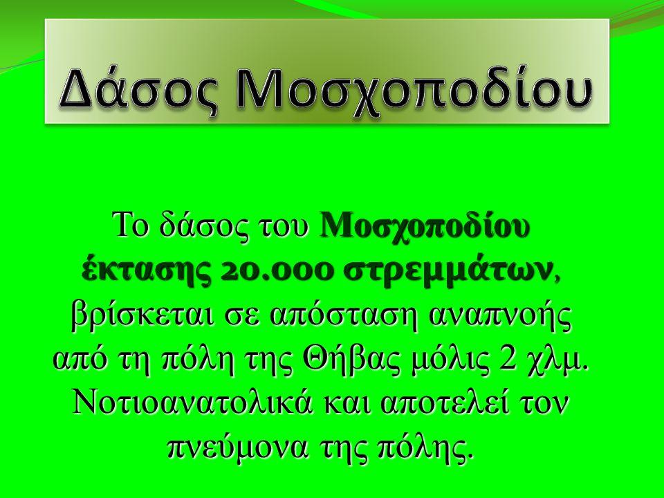 Το δάσος του Μοσχοποδίου έκτασης 20.000 στρεμμάτων, βρίσκεται σε απόσταση αναπνοής από τη πόλη της Θήβας μόλις 2 χλμ.