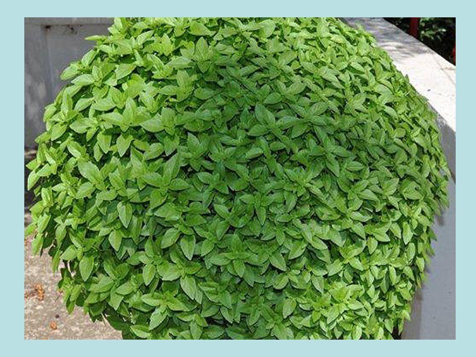Κάρδαμο Σαν βότανο έχει πολλές χρήσεις.