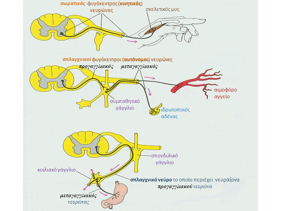 σκελετικός μυς φυγόκεντρος (κινητικός) νευρώνας σωματικός φυγόκεντρος (κινητικός) νευρώνας φυγόκεντροι (αυτόνομοι) νευρώνες σπλαγχνικοί φυγόκεντροι (αυτόνομοι) νευρώνες προγαγγλιακόςμεταγαγγλιακός ιδρωτοποιός αδένας αιμοφόρο αγγείο συμπαθητικό γάγγλιο σπονδυλικό γάγγλιο κοιλιακό γάγγλιο σπλαγχνικό νεύρο το οποίο περιέχει νευράξονα προγαγγλιακού νευρώνα μεταγαγγλιακός νευρώνας