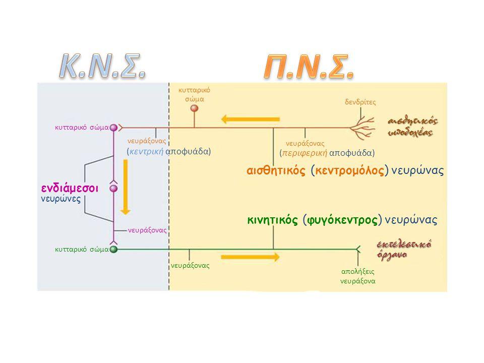 δενδρίτες νευράξονας (περιφερική αποφυάδα) αισθητικός (κεντρομόλος) νευρώνας κυτταρικό σώμα νευράξονας (κεντρική αποφυάδα)αισθητικόςυποδοχέας νευράξονας απολήξεις νευράξονα όργανοεκτελεστικό κινητικός (φυγόκεντρος) νευρώνας κυτταρικό σώμα ενδιάμεσοι νευρώνες κυτταρικό σώμα