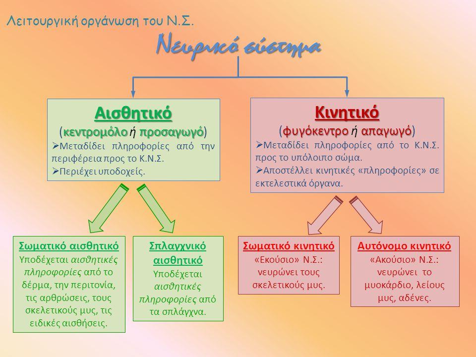 Λειτουργική οργάνωση του Ν.Σ. Νευρικό σύστημα Αισθητικό κεντρομόλο προσαγωγό (κεντρομόλο ή προσαγωγό)  Μεταδίδει πληροφορίες από την περιφέρεια προς