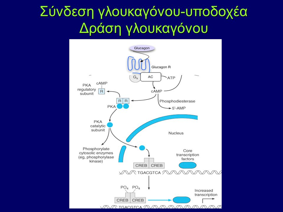 Σύνδεση γλουκαγόνου-υποδοχέα Δράση γλουκαγόνου