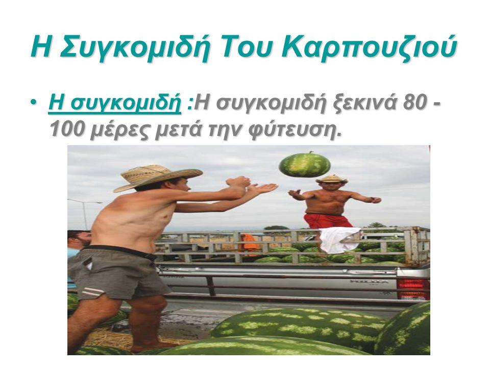 Η Συγκομιδή Του Καρπουζιού Η συγκομιδή :Η συγκομιδή ξεκινά 80 - 100 μέρες μετά την φύτευση.Η συγκομιδή :Η συγκομιδή ξεκινά 80 - 100 μέρες μετά την φύτ