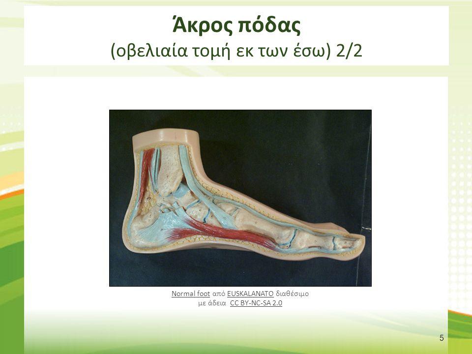 Άκρος πόδας (οβελιαία τομή εκ των έσω) 2/2 5 Normal footNormal foot από EUSKALANATO διαθέσιμο με άδεια CC BY-NC-SA 2.0EUSKALANATOCC BY-NC-SA 2.0