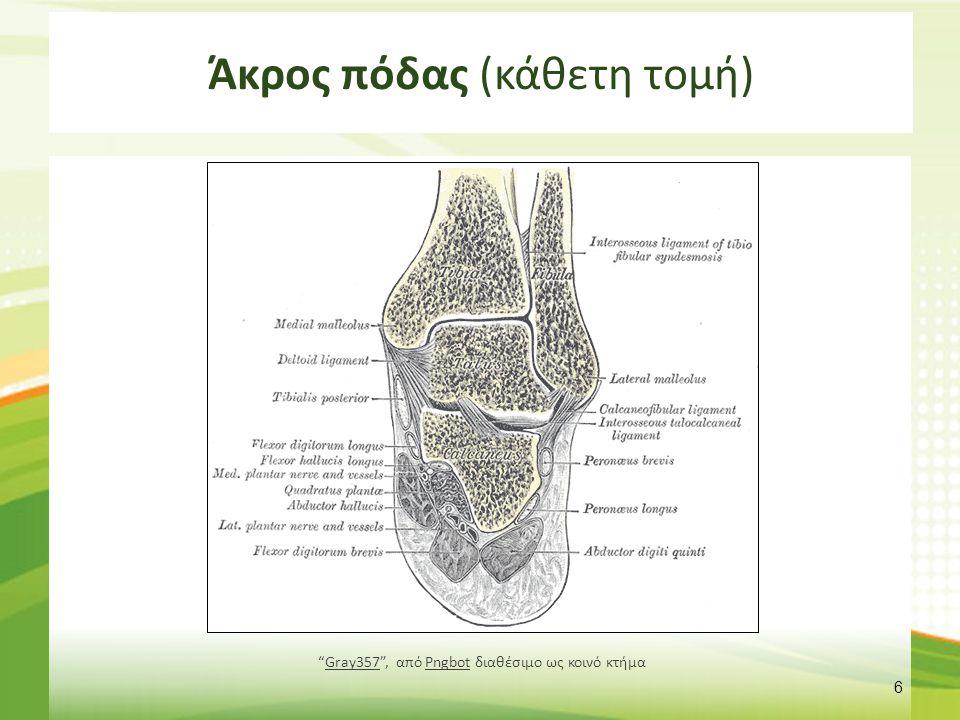 Άκρος πόδας 3/3 Οι κνημοπερονιαίες αρθρώσεις (άνω και κάτω) ανατομικά ξεχωρίζουν από την ποδοκνημική άρθρωση, όμως αυτές οι δύο αρθρώσεις εξυπηρετούν αποκλειστικά τις κινήσεις της ποδοκνημικής άρθρωσης, Κατά την ραχιαία κάμψη, η περόνη κινείται κεφαλικά και στρέφεται προς τα έσω, Κατά την πελματιαία κάμψη, η περόνη κινείται ουριαία και στρέφεται προς τα έξω.
