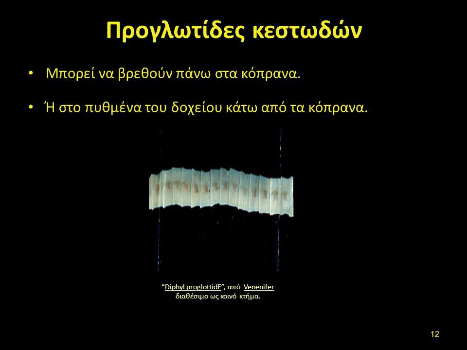 """Προγλωτίδες κεστωδών Μπορεί να βρεθούν πάνω στα κόπρανα. Ή στο πυθμένα του δοχείου κάτω από τα κόπρανα. """"Diphyl proglottidE"""", από Venenifer διαθέσιμο"""
