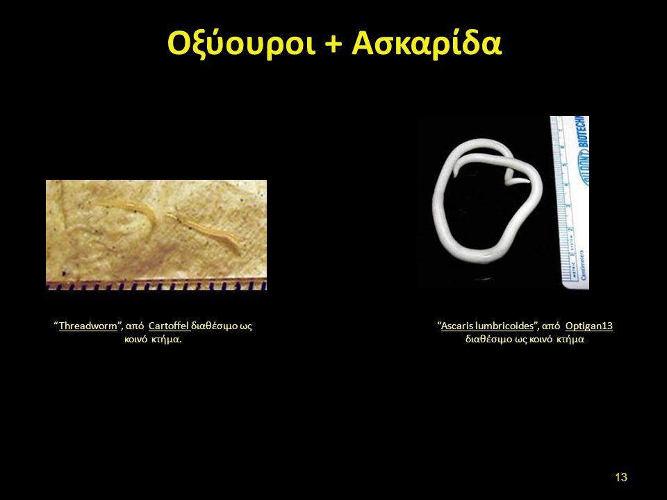 """Οξύουροι + Ασκαρίδα """"Threadworm"""", από Cartoffel διαθέσιμο ως κοινό κτήμα.ThreadwormCartoffel """"Ascaris lumbricoides"""", από Optigan13 διαθέσιμο ως κοινό"""