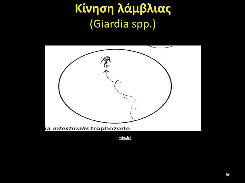 Κίνηση λάμβλιας (Giardia spp.) who.int 55