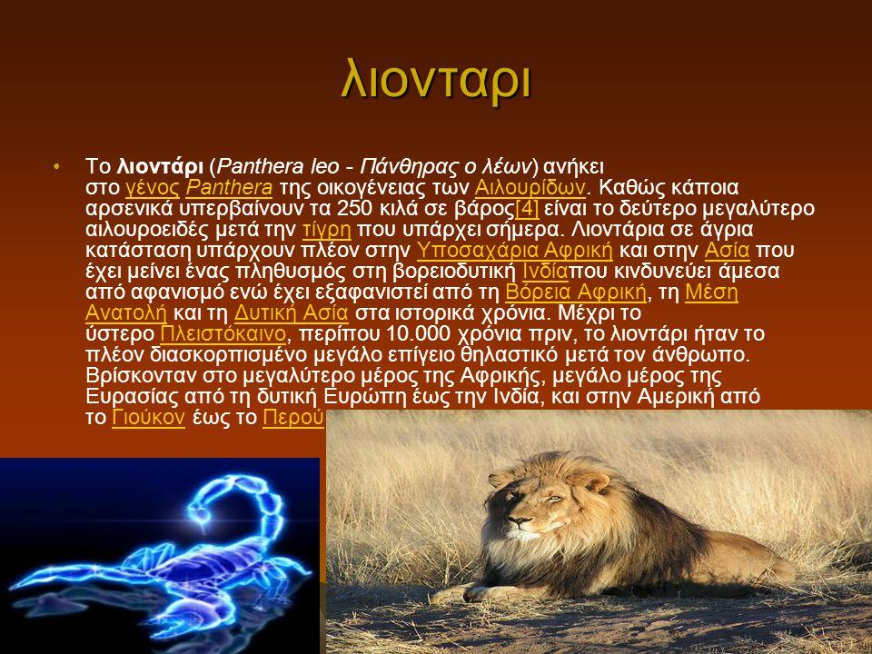 λιονταρι Το λιοντάρι (Panthera leo - Πάνθηρας ο λέων) ανήκει στο γένος Panthera της οικογένειας των Αιλουρίδων. Καθώς κάποια αρσενικά υπερβαίνουν τα 2