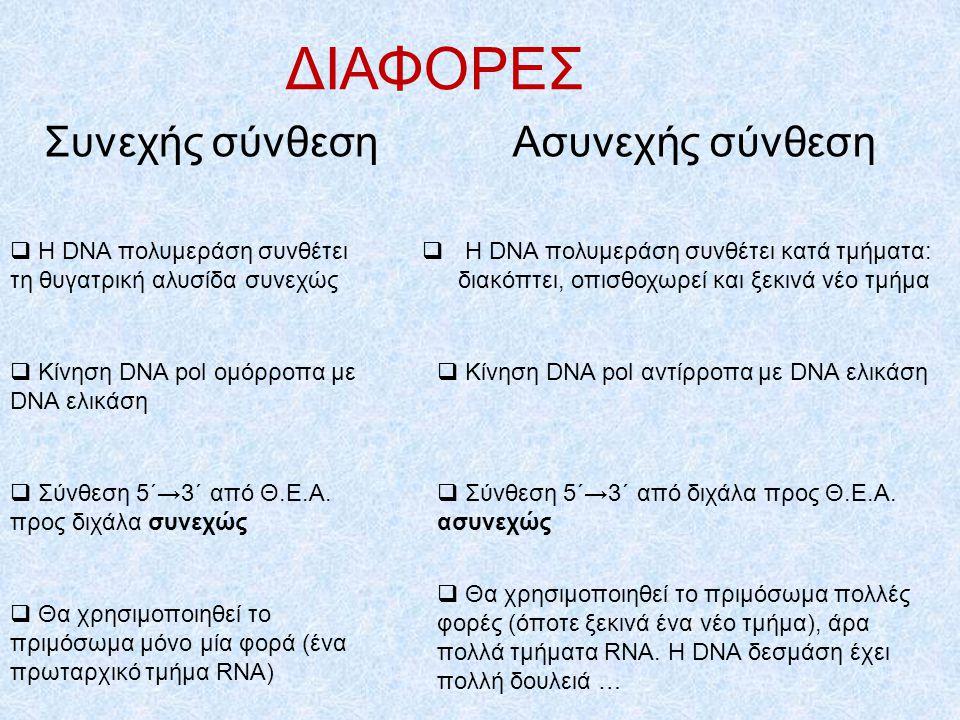  Η DNA δεσμάση: ενώνει τα κομμάτια της ασυνεχούς αλυσίδας ενώνει τα τμήματα των θυγατρικών αλυσίδων στις διάφορες Θ.Ε.Α. (όταν υπάρχουν πάνω από μία)