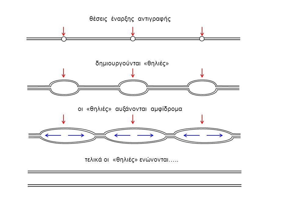 Η διαδικασία της αντιγραφής  Η αντιγραφή του DNA ξεκινάει από τις θέσεις έναρξης αντιγραφής: μια για τα προκαρυωτικά- πολλές για τα ευκαρυωτικά  Οι