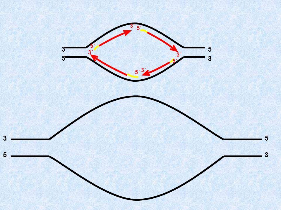 Επιμηκύνουν τα πρωταρχικά τμήματα τοποθετώντας συμπληρωματικά δεοξυριβονουκλεοτίδια (σύνδεση με 3΄-5΄ φ.δ.) Απομακρύνουν τα πρωταρχικά τμήματα, αντικα