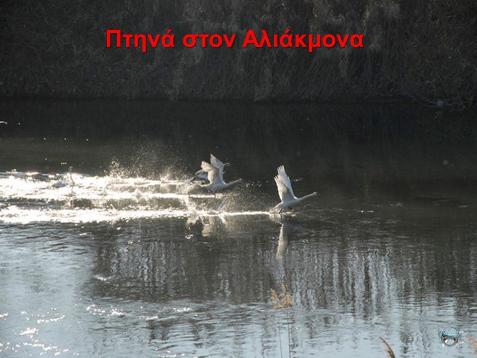Πτηνά στον Αλιάκμονα