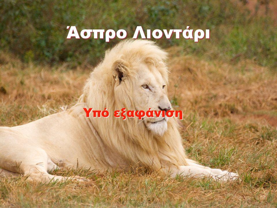 Άσπρο Λιοντάρι Υπό εξαφάνιση