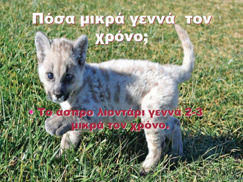 Πόσα μικρά γεννά τον χρόνο Πόσα μικρά γεννά τον χρόνο; Το άσπρο λιοντάρι γεννά 2-3 μικρά τον χρόνο.Το άσπρο λιοντάρι γεννά 2-3 μικρά τον χρόνο.