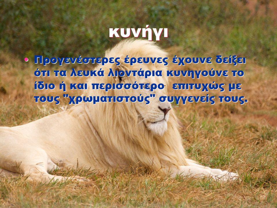 κυνήγι Προγενέστερες έρευνες έχουνε δείξει ότι τα λευκά λιοντάρια κυνηγούνε το ίδιο ή και περισσότερο επιτυχώς με τους