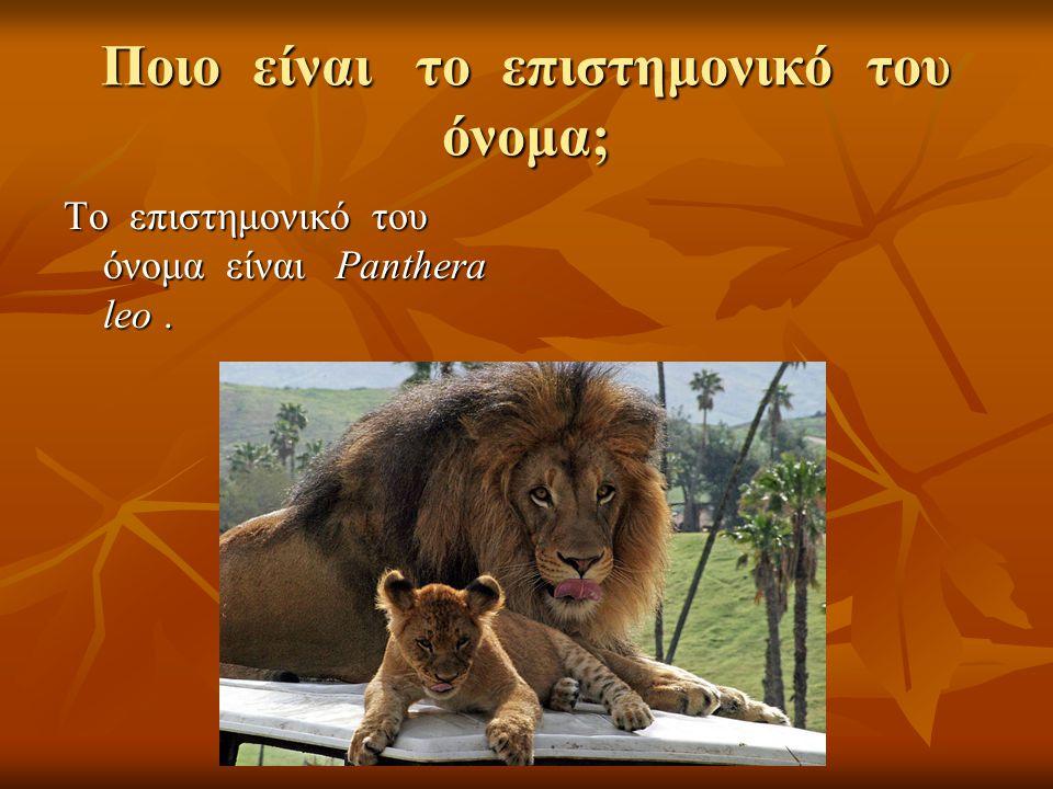 Ποιο είναι το επιστημονικό του όνομα; Το επιστημονικό του όνομα είναι Panthera leo.