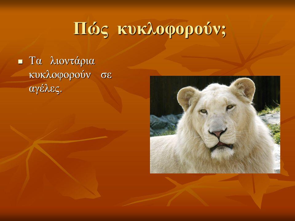Πώς κυκλοφορούν; Τα λιοντάρια κυκλοφορούν σε αγέλες. Τα λιοντάρια κυκλοφορούν σε αγέλες.