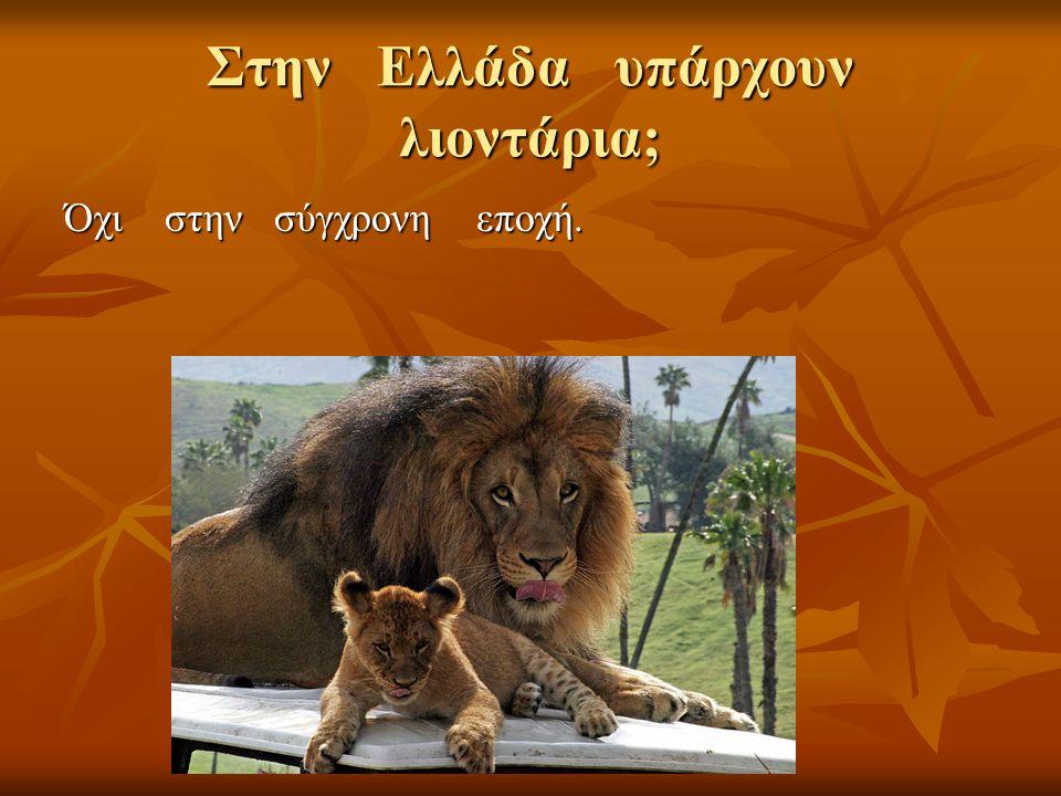 Στην Ελλάδα υπάρχουν λιοντάρια; Όχι στην σύγχρονη εποχή.