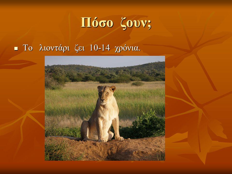 Πόσο ζουν; Το λιοντάρι ζει 10-14 χρόνια. Το λιοντάρι ζει 10-14 χρόνια.