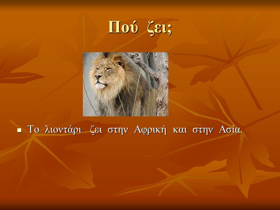 Πού ζει; Το λιοντάρι ζει στην Αφρική και στην Ασία. Το λιοντάρι ζει στην Αφρική και στην Ασία.