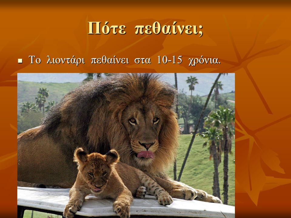 Πότε πεθαίνει; Το λιοντάρι πεθαίνει στα 10-15 χρόνια. Το λιοντάρι πεθαίνει στα 10-15 χρόνια.
