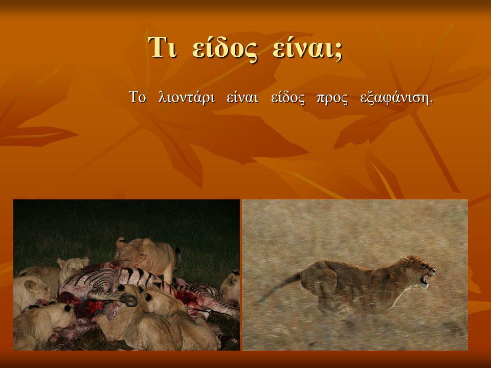 Τι είδος είναι; Το λιοντάρι είναι είδος προς εξαφάνιση.